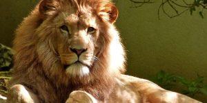 magnifique lion en tableau géant